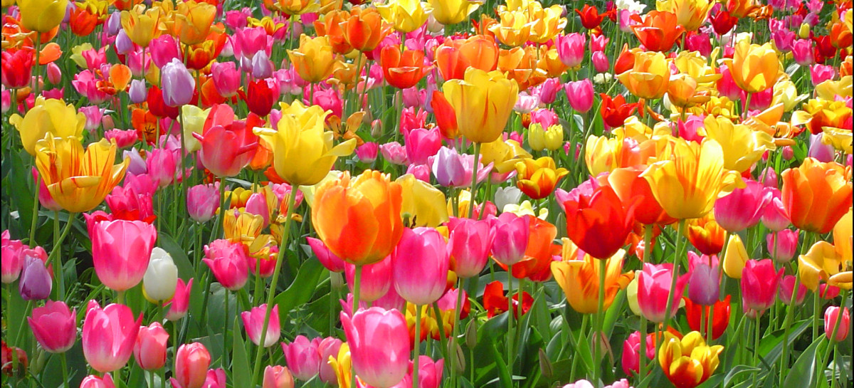 Why Are Tulips So Popular?